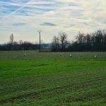 Cicogne di Hunawihr in Alsazia