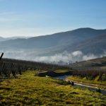 Vigne in Alsazia