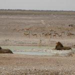 viaggi on the road in Namibia: leoni all'Etosha